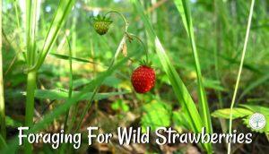 wild-strawberries-post-300x172