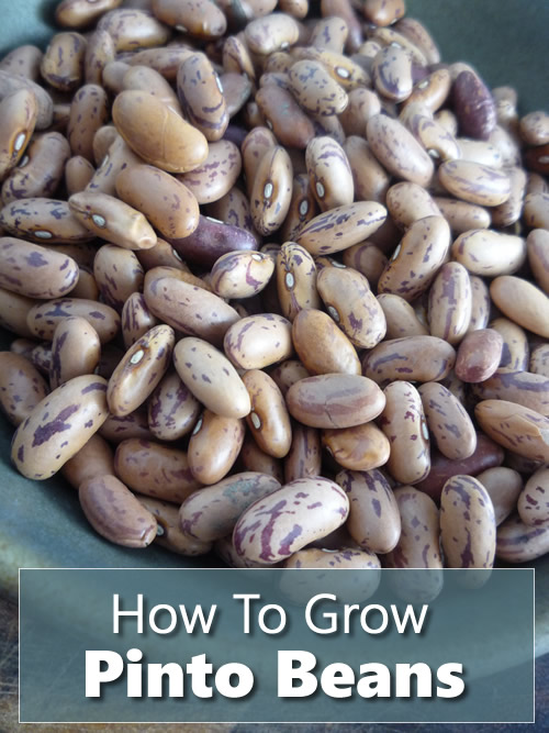 How To Grow Pinto Beans