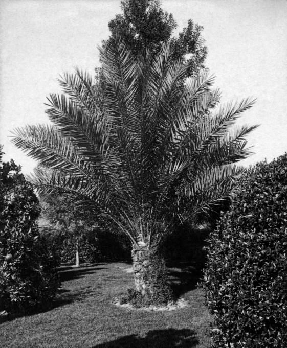 SV Date Palm Mrs Longstreets 2012.362.1.1