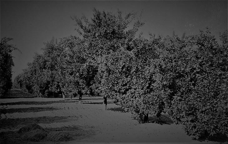 Orange grove Pomona 1894