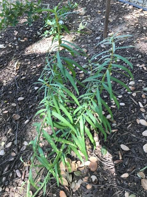 native garden milkweed