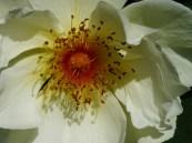 Blütenah