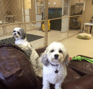 Two white dogs at Home Sweet Home Pet Resort