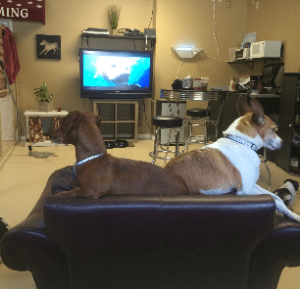 Two tan dogs on a couch, relaxing at Home Sweet Home Pet Resort