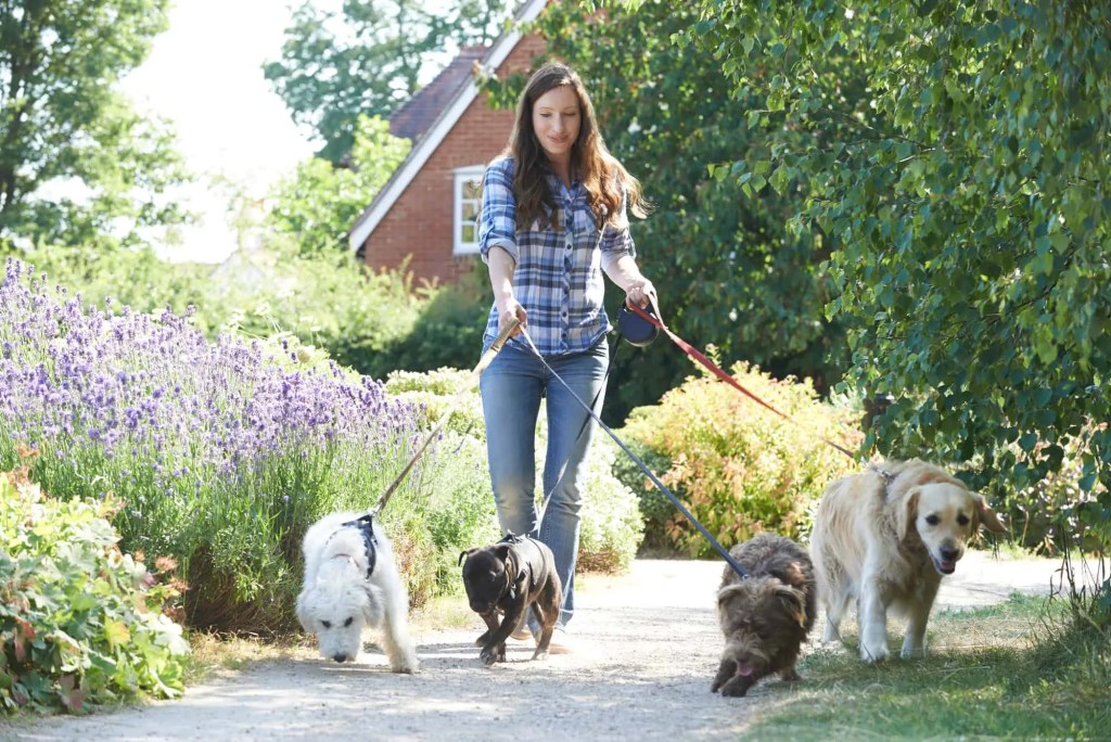 woman dog walker walking dogs