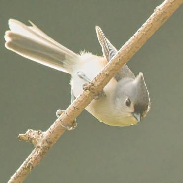 bird grey