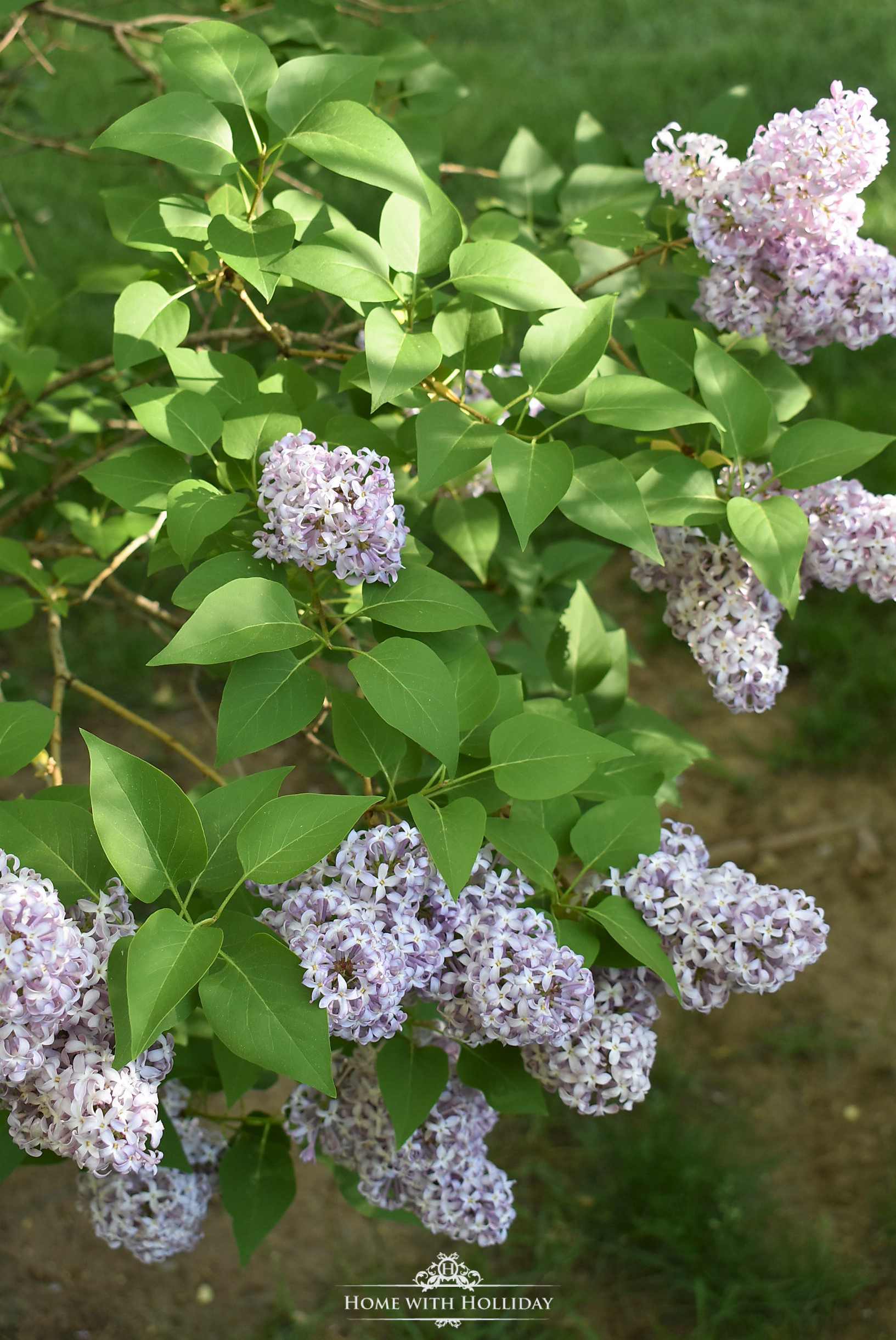 Pruning and Enjoying Lilacs 6