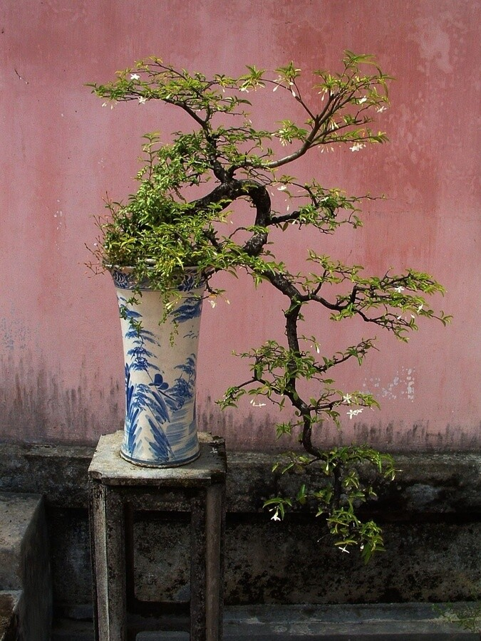 Bonsai  a visual little miracle by Japanese art