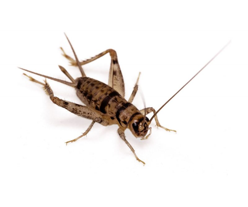 Banded Crickets Free Shipping | Feeder Insects | Pangea Reptile