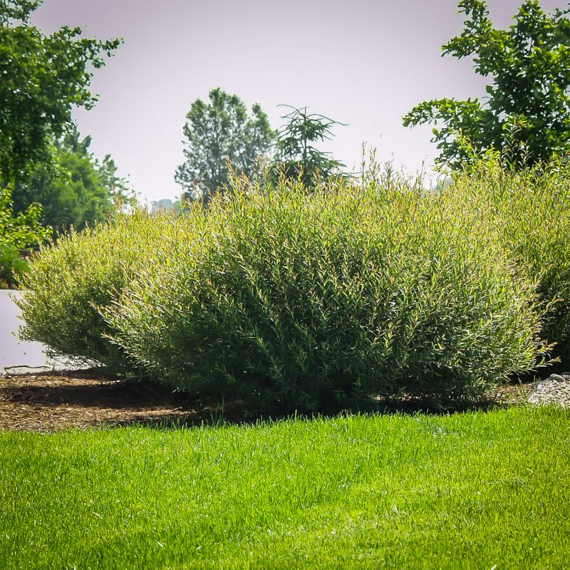 Dwarf Arctic Willow Shrubs For Sale | The Tree Center