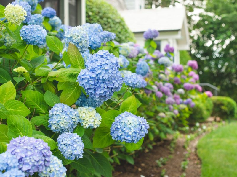 14 Beautiful Hydrangea Varieties