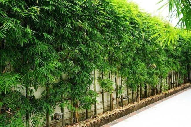 Bamboo Plants For Sale - 1 Year Warranty, Fast Ship