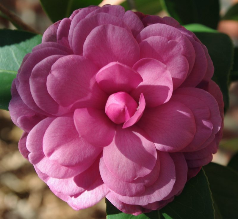 Camellia japonica Early Autumn in my yard 10/28/2015. | Camellia, Beautiful pink flowers, Indoor flowering plants