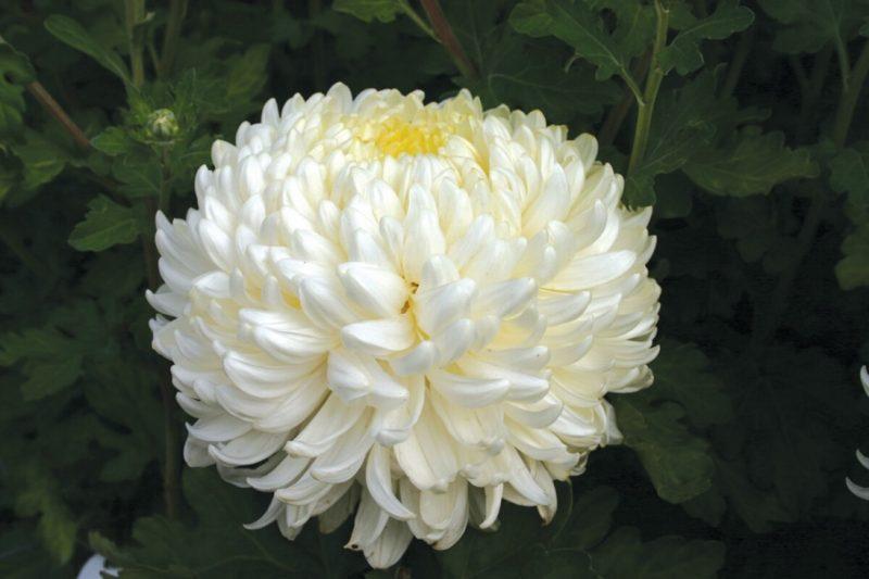 Chrysanthemum Billy Bell from Woolmans