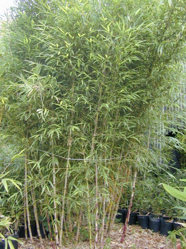 Chusquea culeou (6-11) 'Chilean Weeping' - CHCW - Bamboo Sourcery Nursery & Gardens