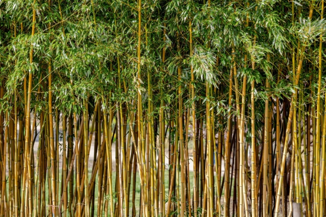 Clumping Bamboo | How to Select, Grow and Care for Clumping Bamboo