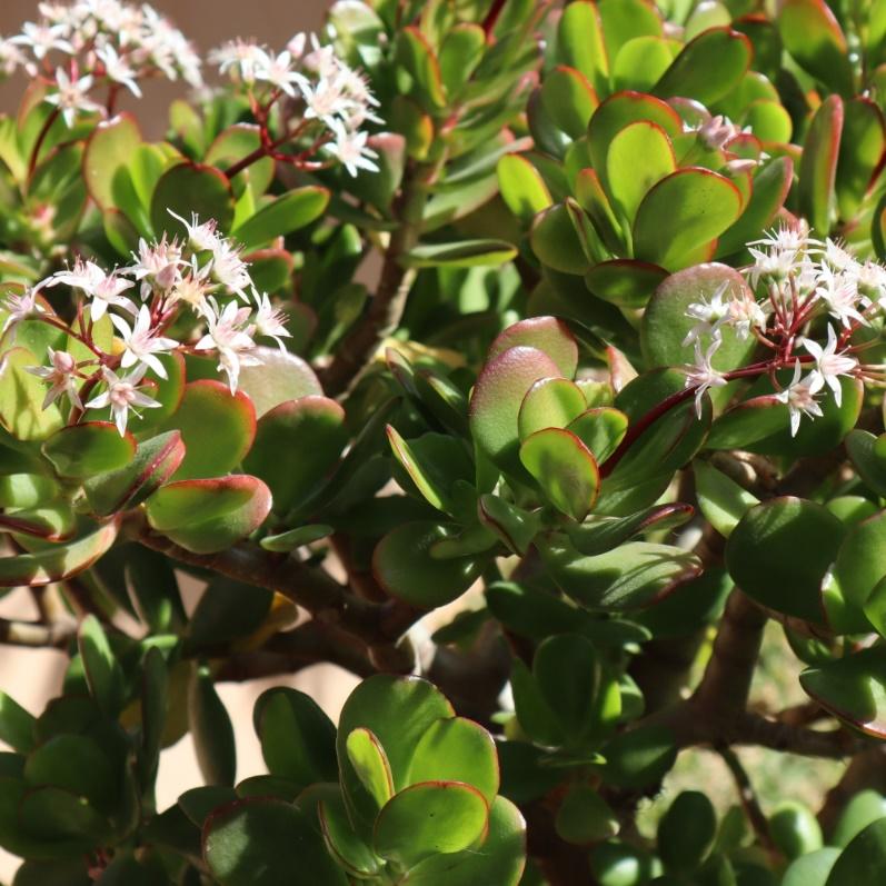 Crassula | Ovata | Druce | Gardenshop | Jade | Plant