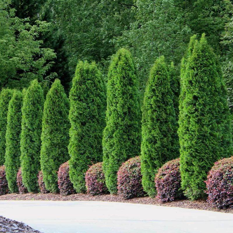 Emerald Green Thuja Arborvitaes for Sale– FastGrowingTrees.com