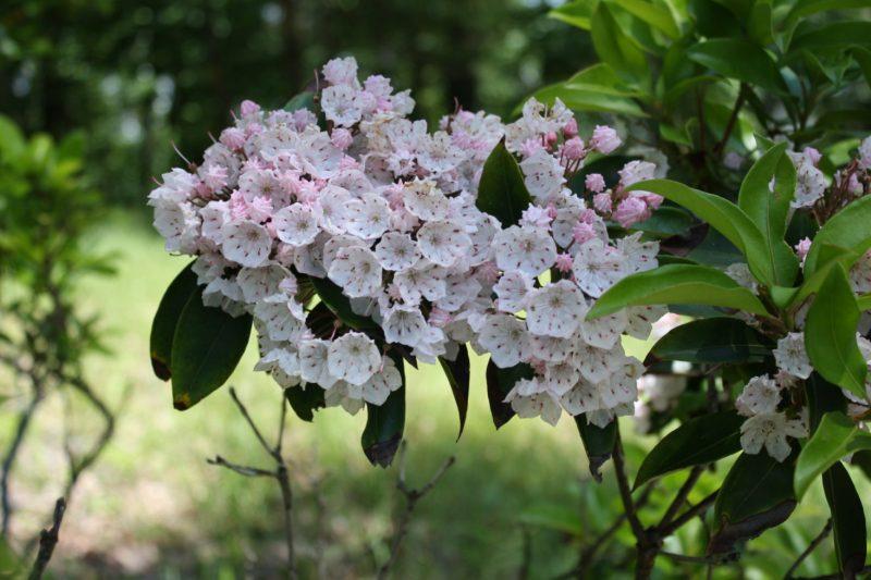 Gardening 101: Mountain Laurel - Gardenista
