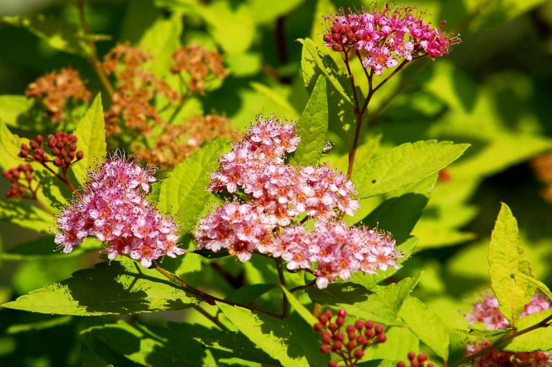Gold Mound Spirea: Care and Growing Guide