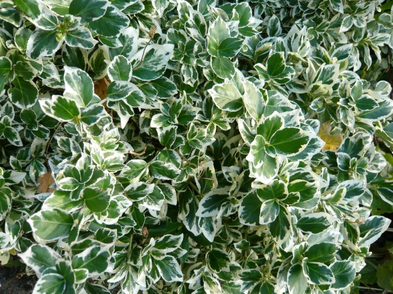 How to Grow and Care for 'Emerald Gaiety' Wintercreeper