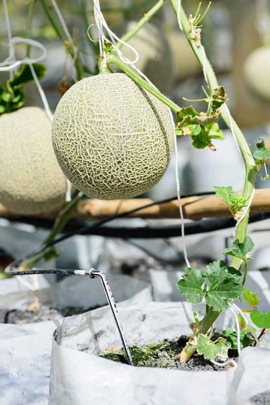 How to Grow Cantaloupe in Containers | Gardener's Path