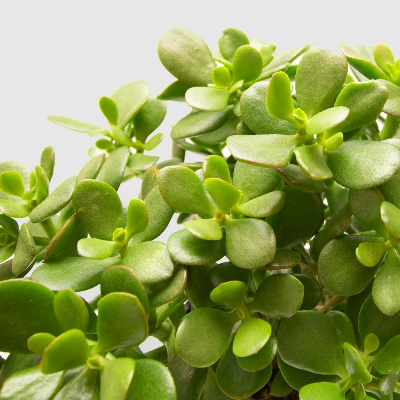 Jade Plant - Money Plant in Small Ceramic Pot