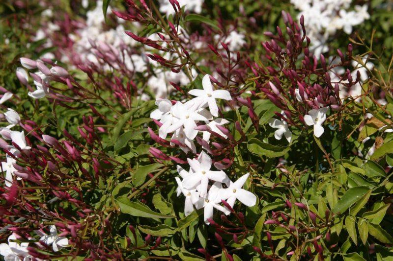 Jasminum polyanthum - Boething Treeland Farms
