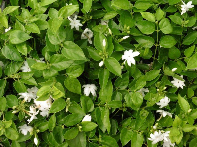 "Jasminum sambac ""Arabian Jasmine"" | Jasminum sambac, Arabian jasmine, Buy plants"