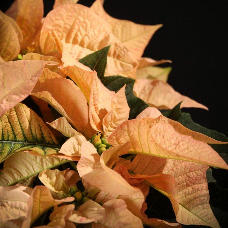 Kerstster, Poinsettia Cinnamon Star - Oranje - Planten - 15646 - Certi - Certi