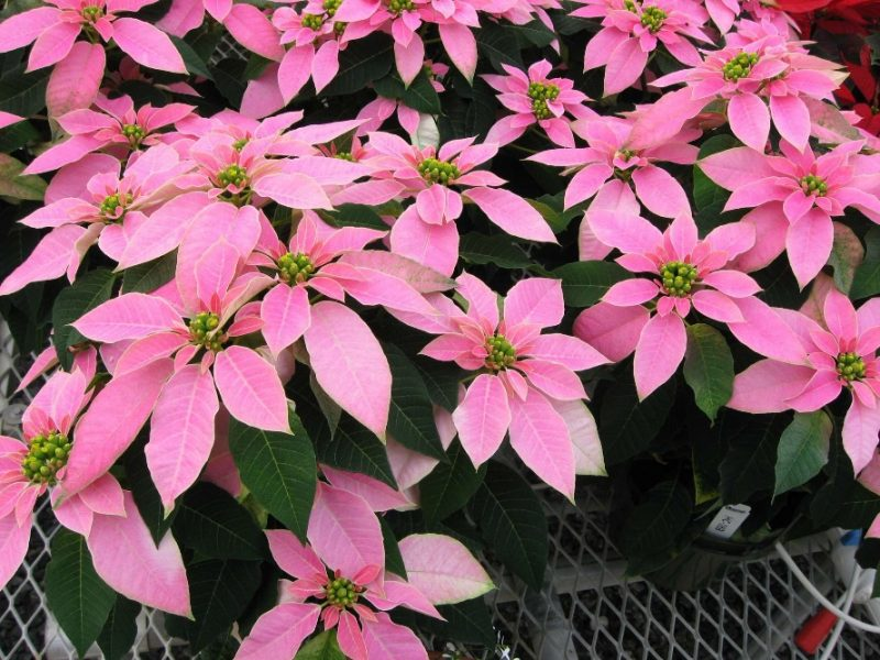 Luv U Pink' Poinsettia The Hit At Mitchell's Open House - Greenhouse Grower