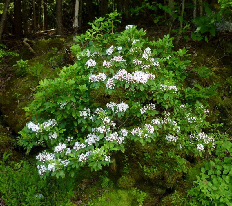 Mountain Laurel (Kalmia latifolia) | My Cherokee Garden