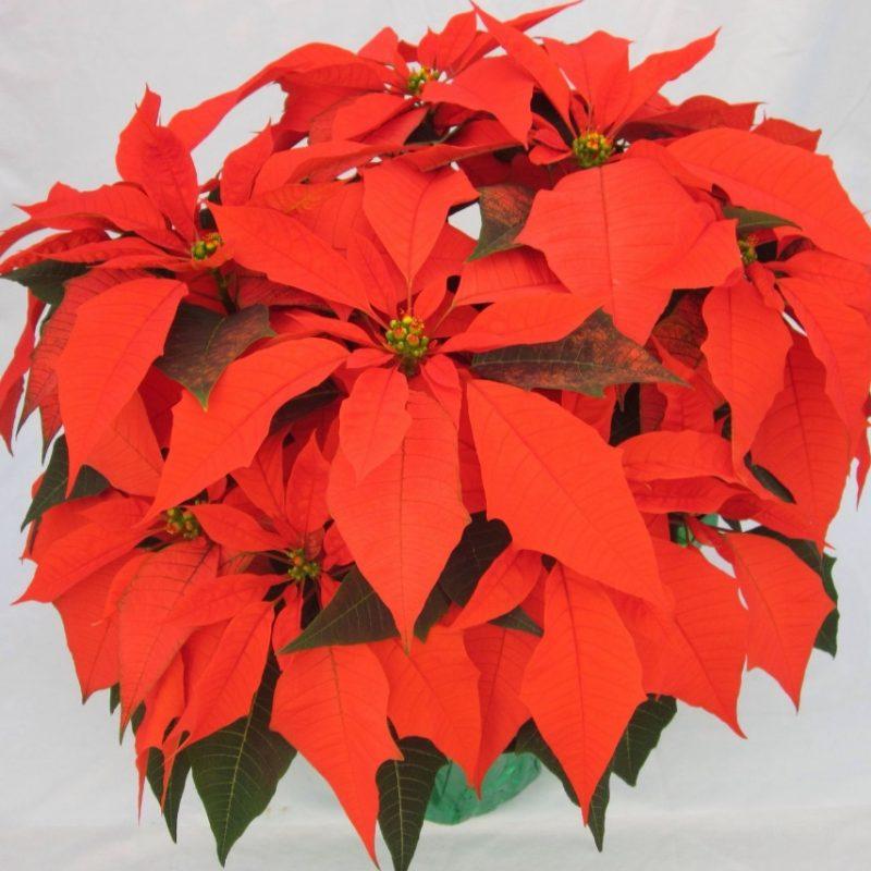 Orange Spice | Orange spice, Poinsettia, Tis the season
