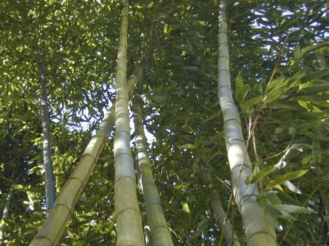 "Phyllostachys bambusoides ""Madake"", ""Giant Japanese Timber"" - PHB - Bamboo Sourcery Nursery & Gardens"