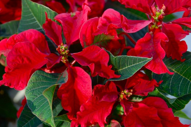 Poinsettia 'Carousel Red'   Green backyard, Poinsettia, Winter decor