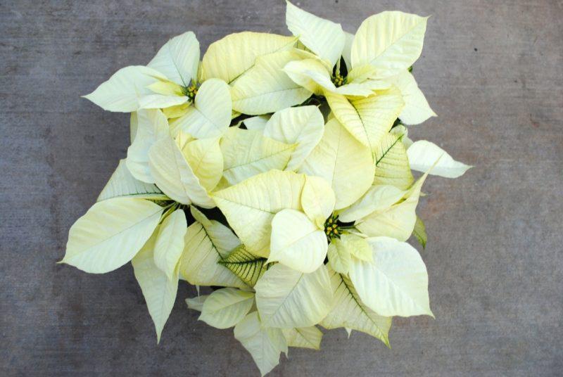 Polar Bear White Poinsettia – westwood gardens blog