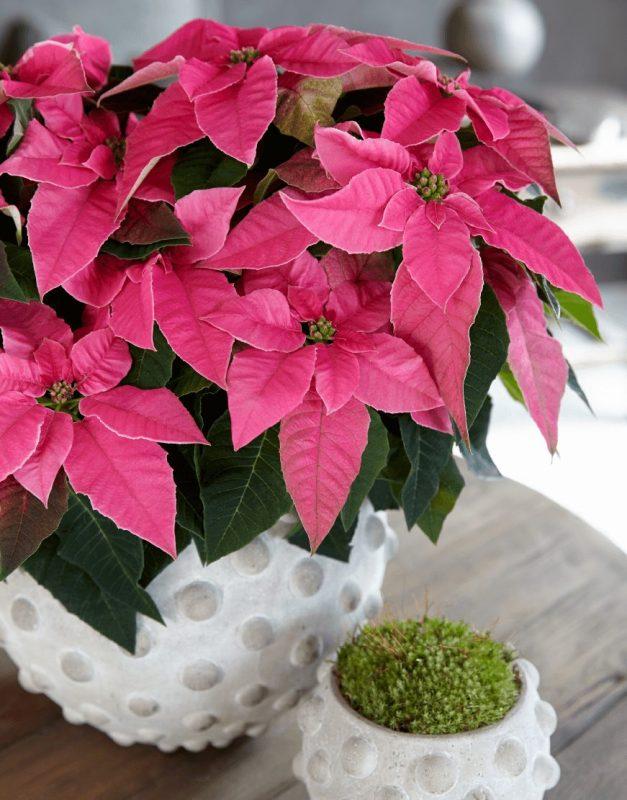 Princettia Hot Pink   Compact, pink & white Euphorbia (Poinsettia) 2.0
