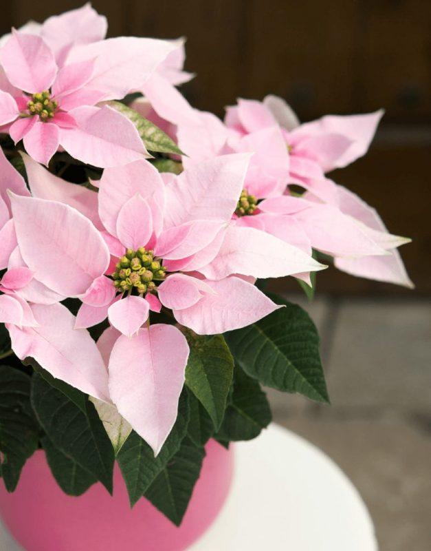 Princettia Pink | Compact, pink & white Euphorbia (Poinsettia) 2.0