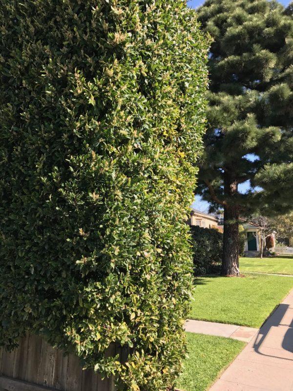 Prunus caroliniana - Carolina Cherry Laurel Zone: 7, H: 20-30' S: 15-20' | Carolina  cherry laurel, Hedges, Prunus