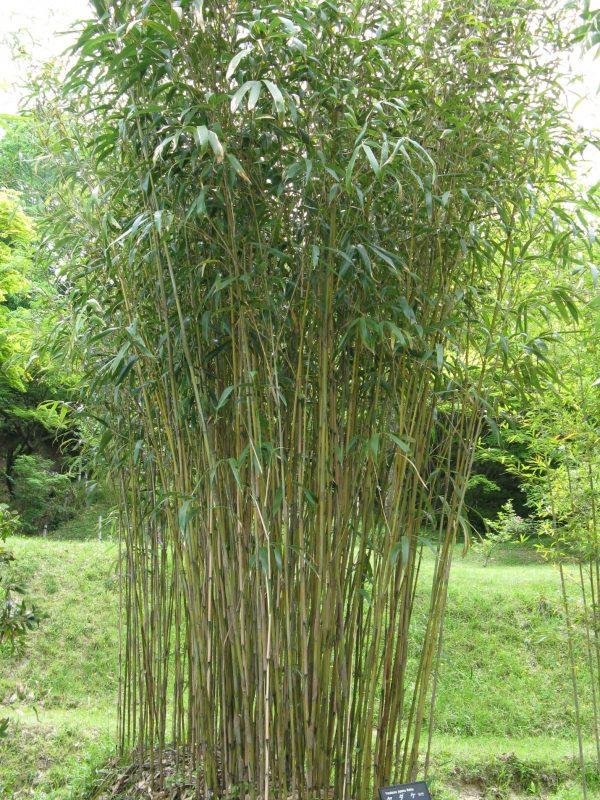 Pseudosasa japonica - Wikipedia