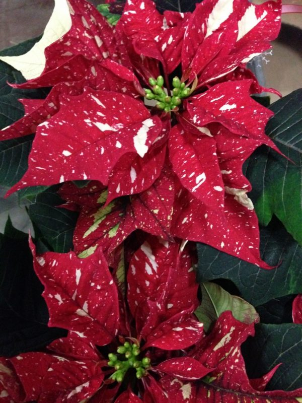 Red Glitter' poinsettia from Canada.   Poinsettia, Red glitter, Flowers