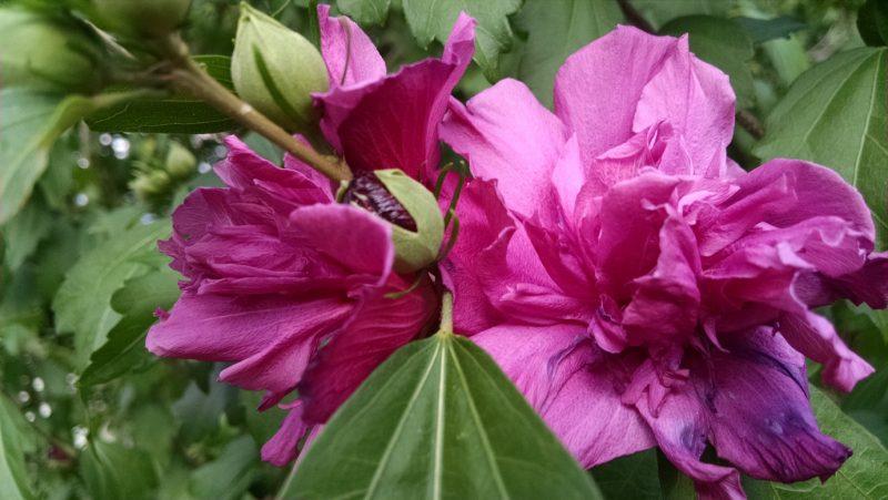 Rose of Sharon, Hibiscus syriacus, double bloom | Uconnladybug's Blog