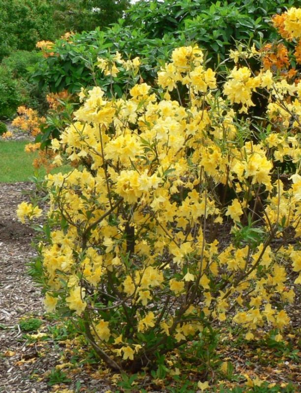 Visit My Garden: Hardy Azaleas at the Arboretum