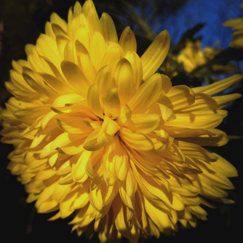 Yellow chrysanthemum | lat. Chrysanthemum morifolium | Elvis L. | Flickr