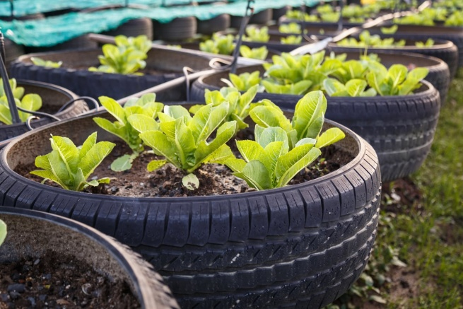 Growing Vegetables In Tires – Is It Safe To Grow Food In Tires
