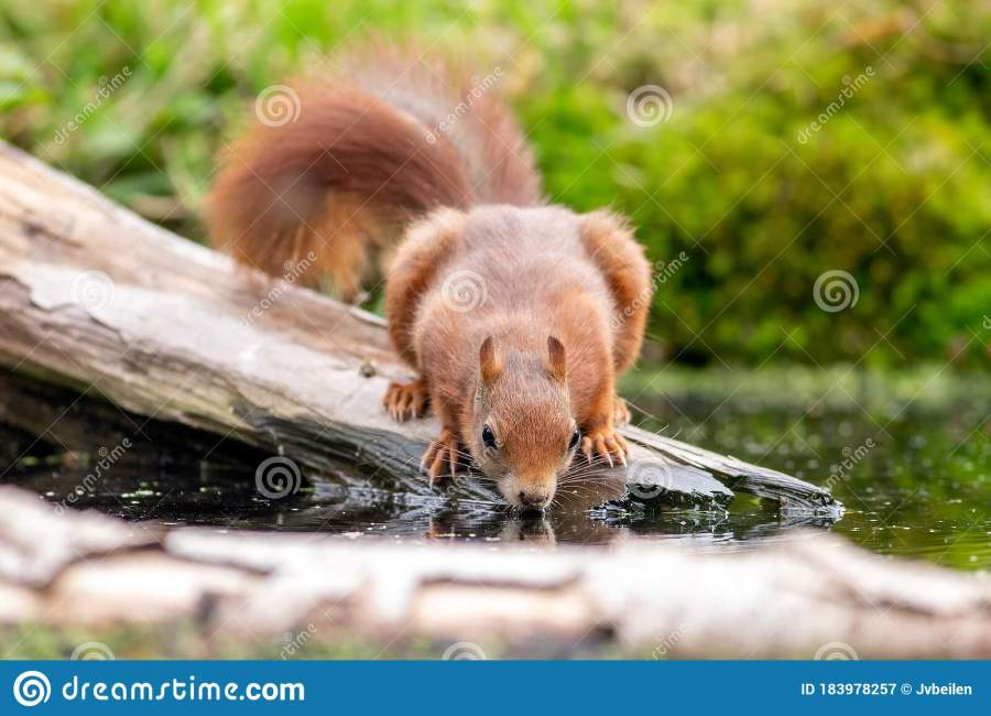 This cute red squirrel drinking water.
