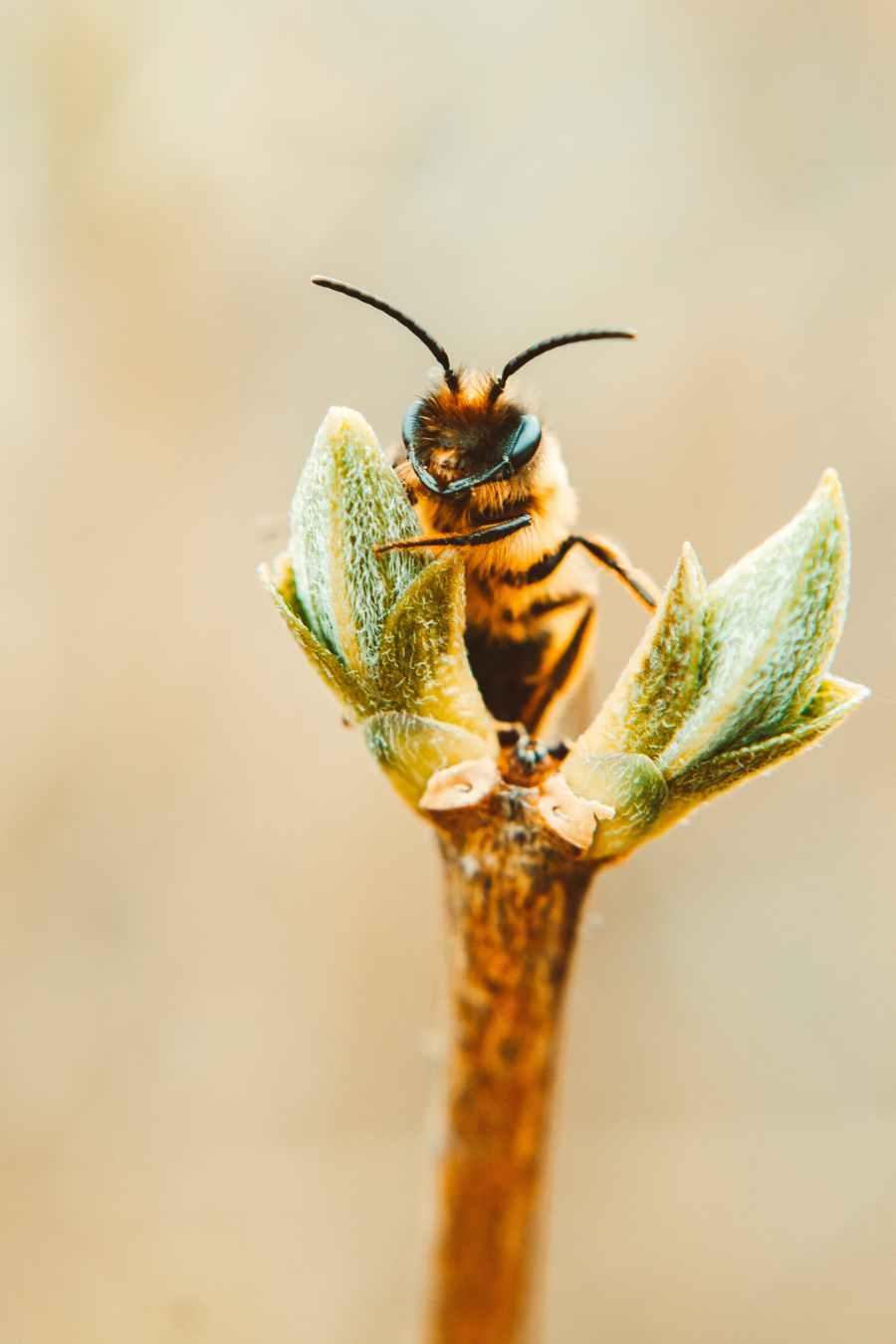Lebah Di Tanaman