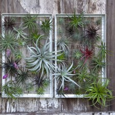 Amazing Air Plants Decor Ideas 08