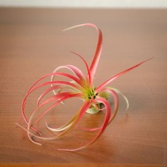 Amazing Air Plants Decor Ideas 36