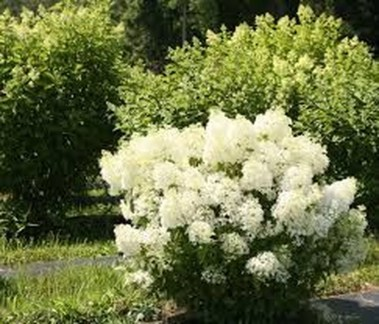Elegant Colorful Bobo Hydrangea Garden Landscaping Ideas05